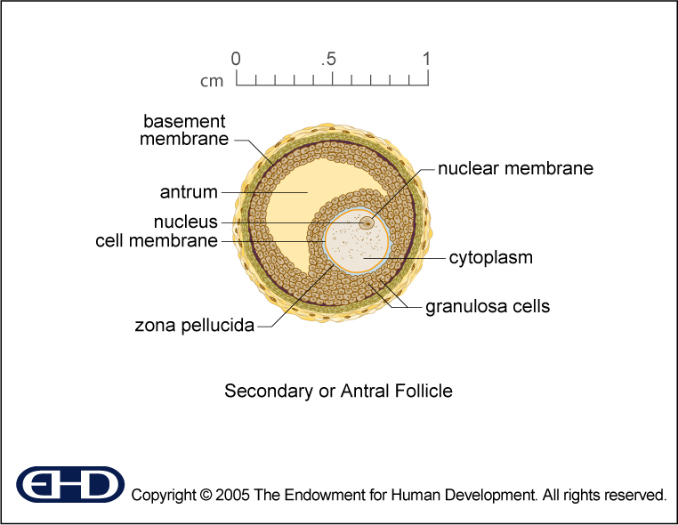 figure 0 6 secondary follicle intermediate