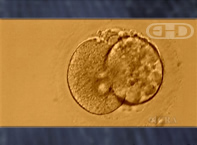 See Labels [Two-Cell Human Embryo]