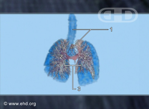 Comparing Lung Development [Click for next image]
