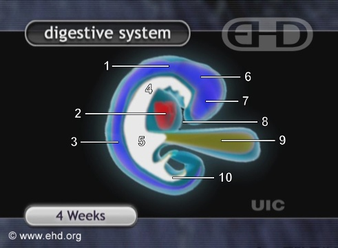 Tracto digestivo en un embrión de 4 semanas [Haga clic para la siguiente imagen]