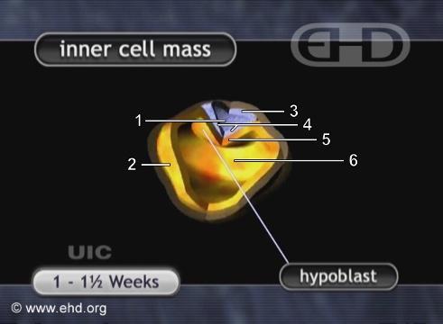 Embrião com cerca de 11 Dias [Clique para a próxima imagem]