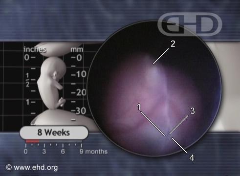 Ojo y nariz de embrión de ocho semanas [Haga clic para la siguiente imagen]