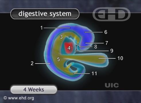 Embrión de cuatro semanas [Haga clic para la siguiente imagen]