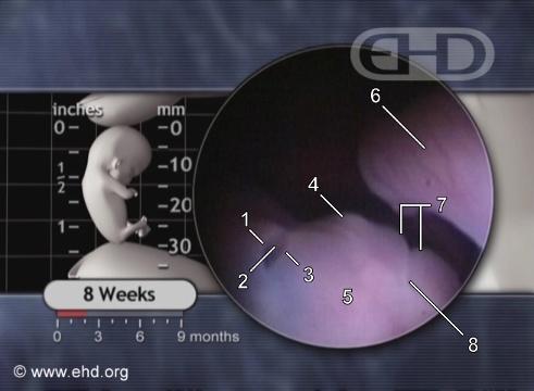 El ojo a las 8 semanas de embarazo [Haga clic para la siguiente imagen]