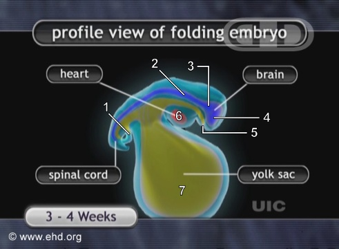 The Folding of the Embryo [Click for next image]