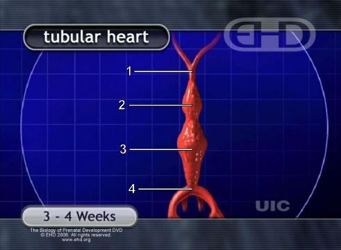 Coração em Forma de Tubo [Clique para a próxima imagem]