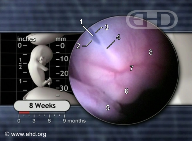 Face of the 8-Week Embryo [Click for next image]