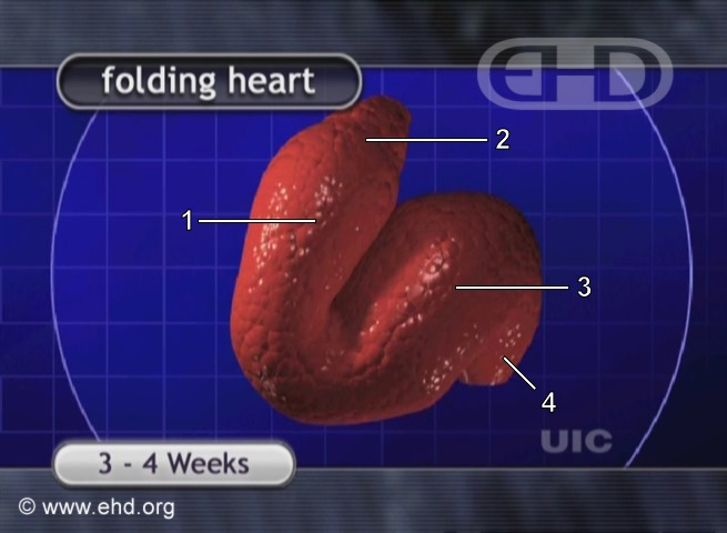 The Folding Heart [Click for next image]