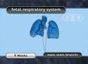 Sistema respiratorio fetal
