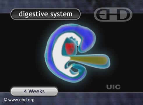Aparelho Digestivo, Embrião de 4 Semanas [Clique para a próxima imagem]