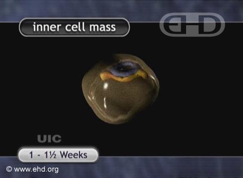 Corte Transversal do Embrião de 8-9 Dias [Clique para a próxima imagem]