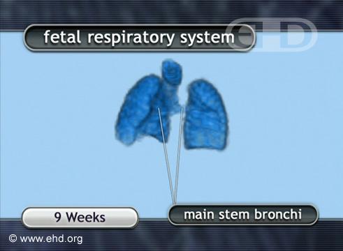 Sistema Respiratório Fetal [Clique para a próxima imagem]