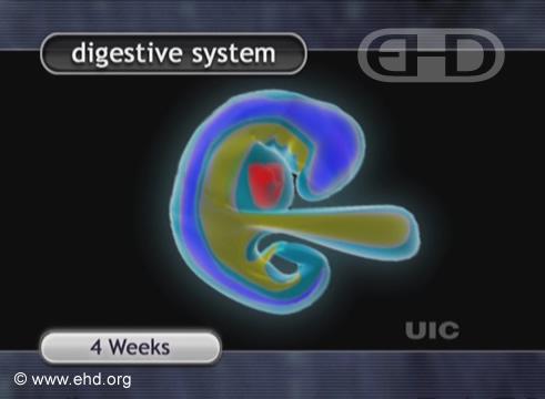 Embrião de Quatro Semanas [Clique para a próxima imagem]