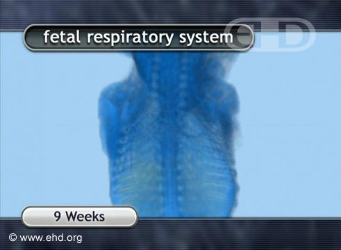 O Feto de 9 Semanas via MRI [Clique para a próxima imagem]