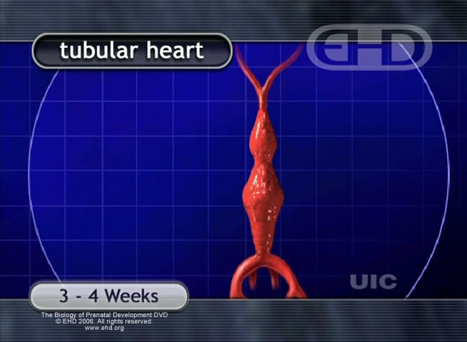 Tube Shaped Heart [Click for next image]