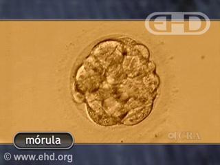 Reproducir película - La mórula y el blastocisto