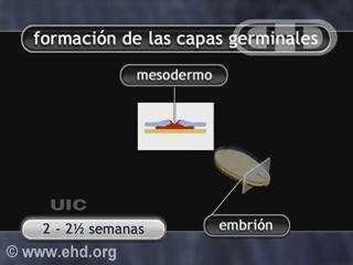 Reproducir película - Capas germinales y formación de órganos
