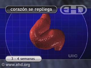 Reproducir película - Corazón y sistema circulatorio