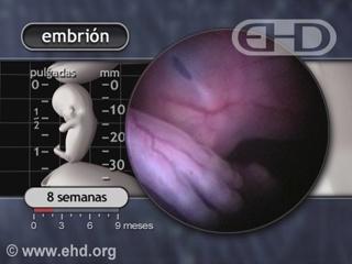 Reproducir película - El período embrionario