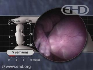 Reproducir película - El período fetal